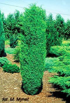 juniperus communis hibernica cvekara sonja garden expert dooel. Black Bedroom Furniture Sets. Home Design Ideas